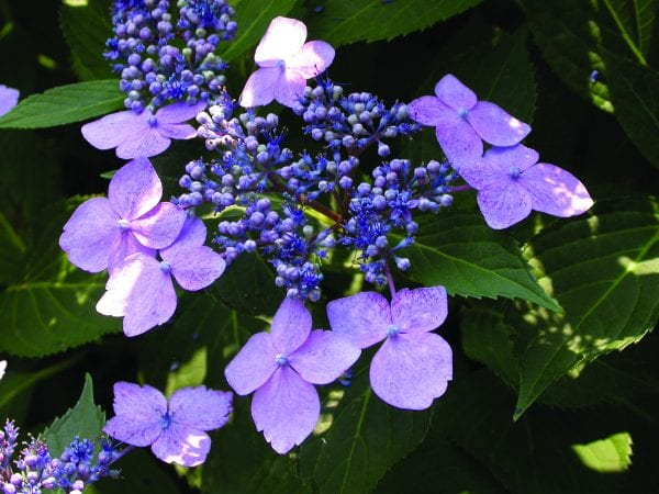 Serrated hydrangea 'Blue Bird'