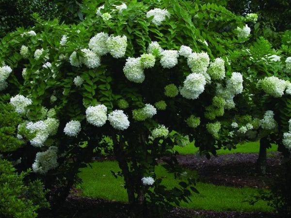 Panicle hydrangea 'Grandiflora' (P.G.)