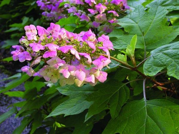 Oakleaf hydrangea (aging to pink)