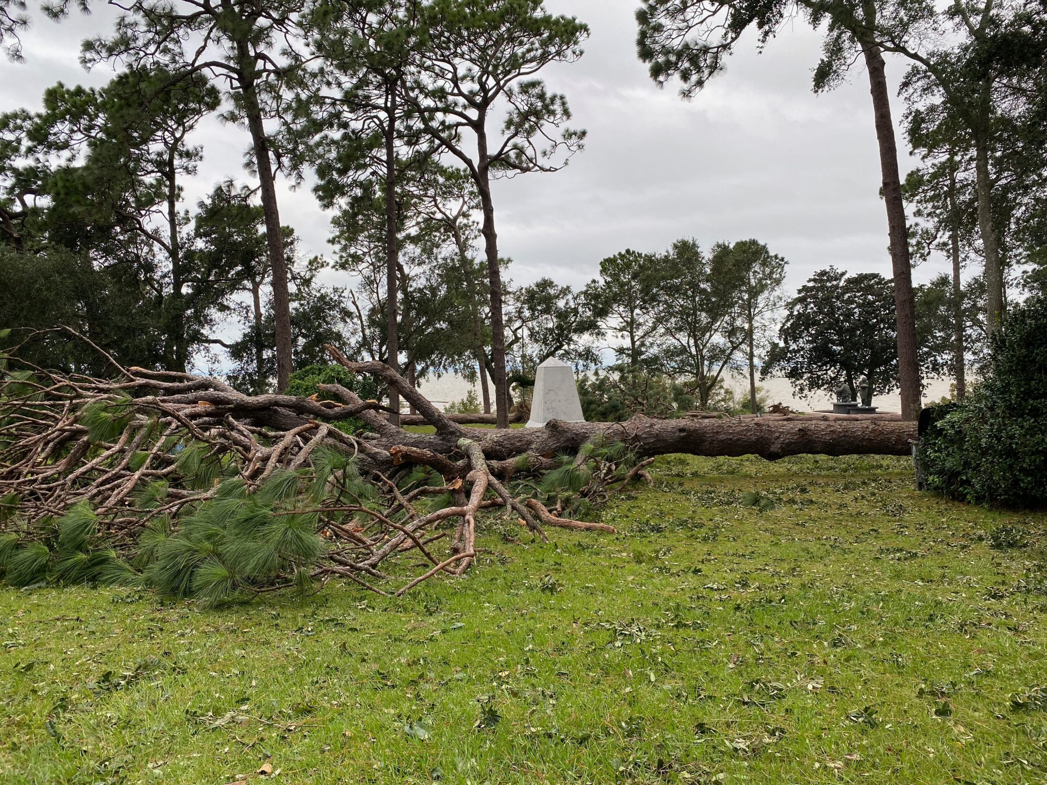Downed pine trees from Hurricane Sally