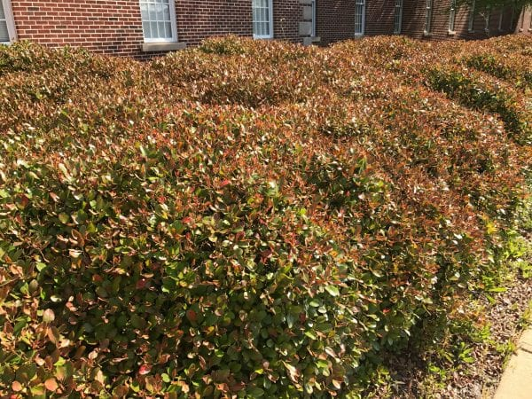 The effects of cold damage to Indian hawthorne shrubs.