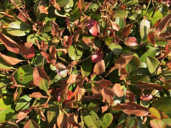 Newly emerging leaves on deciduous shrubs and trees appear burned or blackened after a late-season freeze.