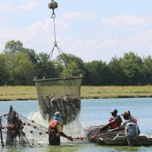 Figure 1. Catfish harvest in western Alabama. (Photo credit: Alabama Farmers Federation)