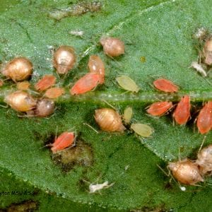 Figure 5. In checking for natural enemies, look for brown husks called mummies. These are aphids that have been attacked by tiny wasps.