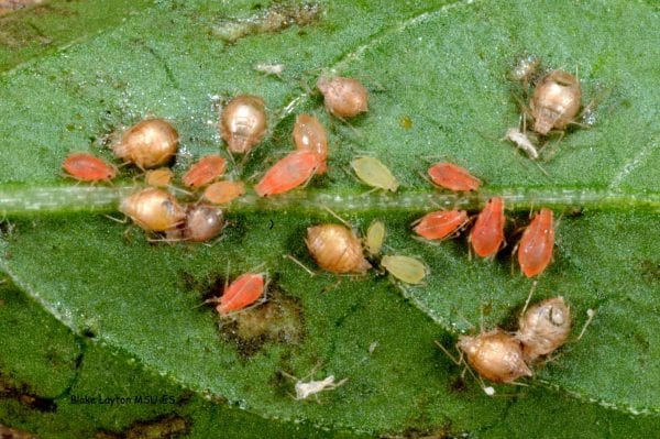 In checking for natural enemies, look for brown husks called mummies. These are aphids that have been attacked by tiny wasps.