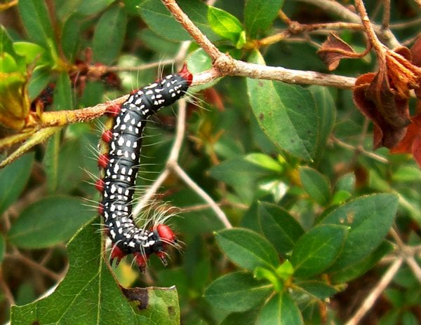 The azalea caterpillar can feed unnoticed, but larger larvae can partially defoliate azaleas in a few days.