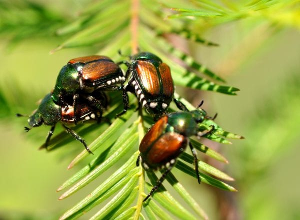 Japanese beetles are the adult stage of a common white grub found in turfgrass. Grubs develop in the soil and emerge as adult Japanese beetles.
