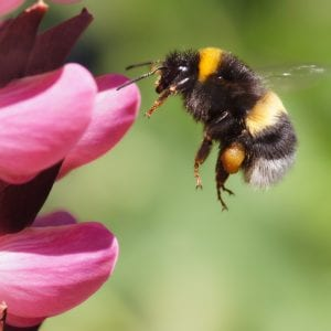 Figure 5. Bumble bees are native bees common on many flowering plants in the landscape. Queens are larger and are seen on flowers in spring and fall.