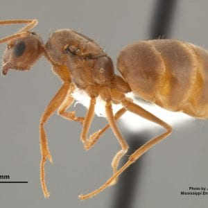 Tawny crazy ant queen