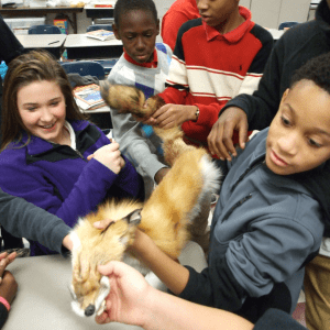 Students pass around a fox pelt in a classroom