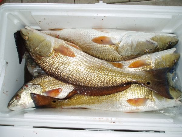 Ice chest full of large redfish