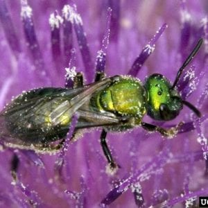 Figure 13. Sweat bees are small, colorful bees thought to sting people working outdoors. They are not aggressive but will sting in defense. (Photo credit: Dave Cappaert, Bugwood.org)