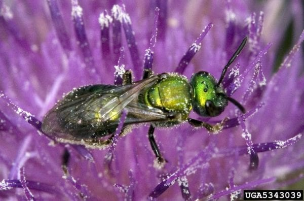Sweat bees are small, colorful bees thought to sting people working outdoors. They are not aggressive but will sting in defense. (Photo credit: Dave Cappaert, Bugwood.org)