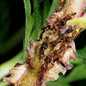 Figure 5. Tawny crazy ants tending honey dew producers.
