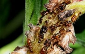 Tawny crazy ants tending honey dew producers.
