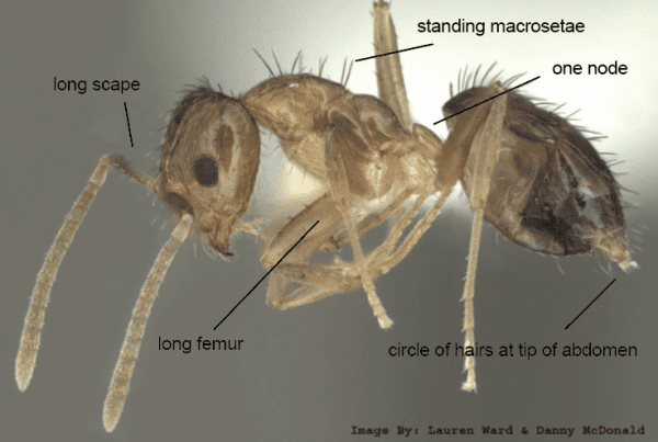 tawny crazy ant identification photo