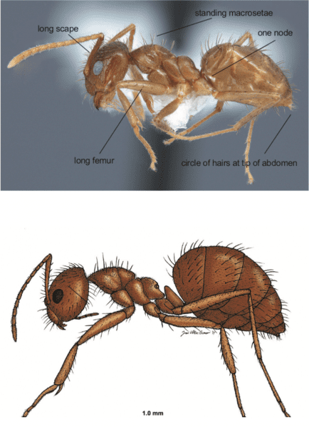 Tawny crazy ant worker