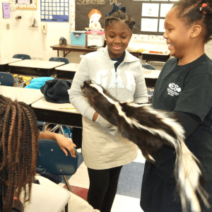 Two students hold a skunk pelt in a classroom