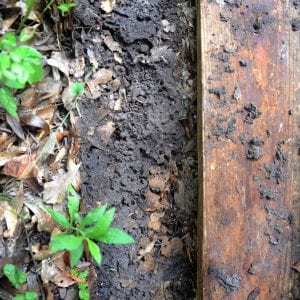 Figure 4. Tawny crazy ant nest under a board in a yard