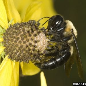Figure 6. Carpenter bees are different from bumble bees. Because they can damage wood on houses, they are one of the few bees that can be a pest. (Photo credit: Dave Cappaert, Bugwood.org)