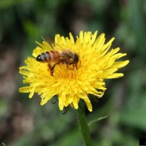 Figure 7. Honey bees are not native, but they are still important pollinators in the United States. (Photo credit: Lesley Ingram, Bugwood.org)