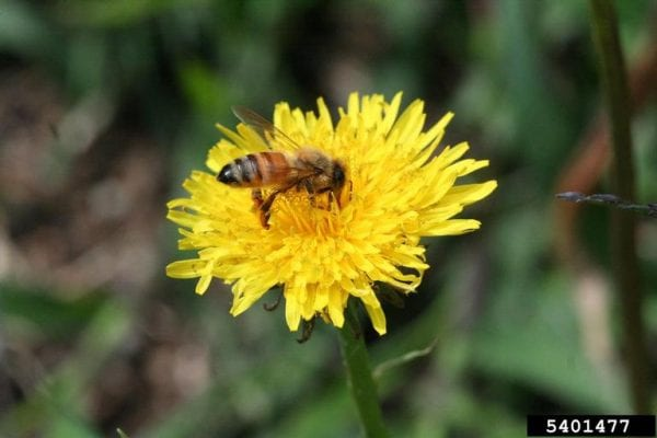 Honey bees are not native, but they are still important pollinators in the United States. (Photo credit: Lesley Ingram, Bugwood.org)