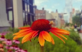 Echinacea flowers growing in the beautifully landscaped, urban Manhattan High Line Park between the Chelsea and West Village neighborhoods of New York City. A bee is on the center cone of the flower.