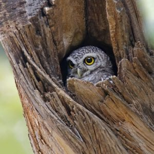 Spotted owlet in tree hollow