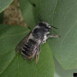 Figure 11. Leaf cutter bees are black and hairy but often go unnoticed. (Photo credit: Joseph Berger, Bugwood.org)