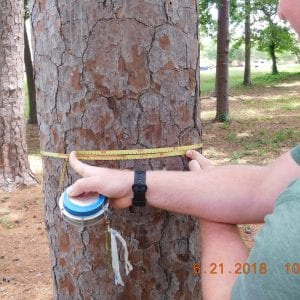Figure 4. When measuring the diameter at breast height, read where the zero line lines up with the rest of the tape when pulled around the tree. In this example, the tape aligns closely with the 16.4-inch mark, meaning that this tree has a DBH of 16.4 inches.