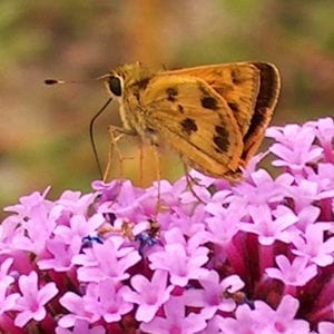 Figure 1. Skippers are one type of butterfly that can be a pollinator.