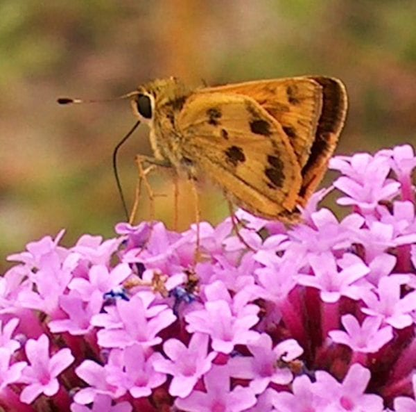 Skippers are one type of butterfly that can be a pollinator.