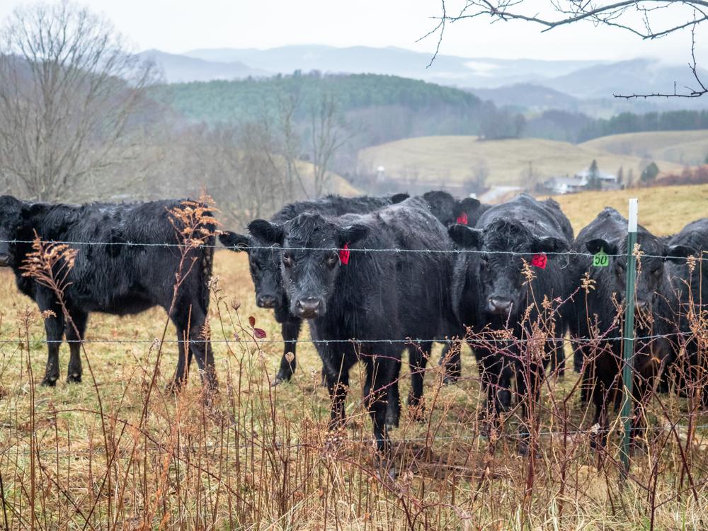 Cattle in the rain