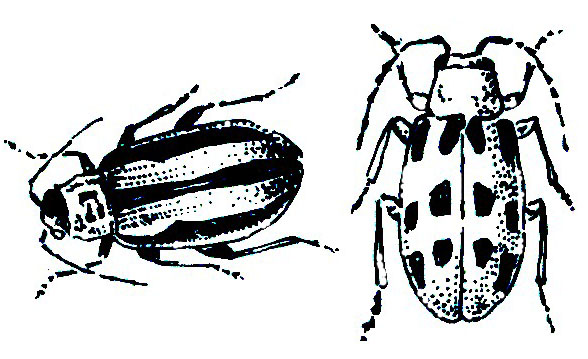Striped and Spotted Cucumber Beetles