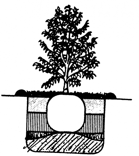 Figure 2. Backfill the hole with soil to a level about halfway to the top of the root ball. Water thoroughly, fill the remainder of the hole, water again, and add mulch.