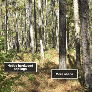 Figure 1. Longleaf pine stand burned every 2 years in the dormant season.