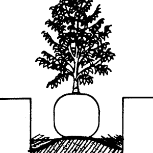 Figure 1. Place plant on mound built in the bottom of the planting hole. The top of the root ball should be 1 inch above the surrounding ground.