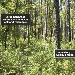 Figure 3. Longleaf pine stand burned every 3 years in the dormant season.