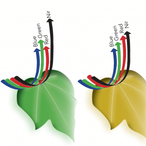 Figure 3a. Differences in reflected light between a healthy and unhealthy leaf.