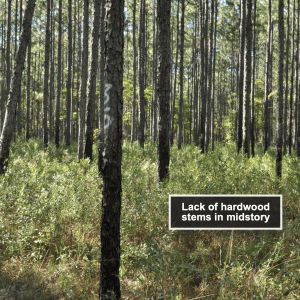 Figure 4. Longleaf pine stand burned every 3 years in the growing season.