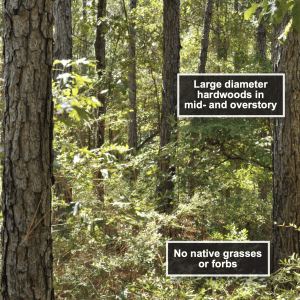 Figure 5. Longleaf pine stand burned every 5 years in the dormant season.