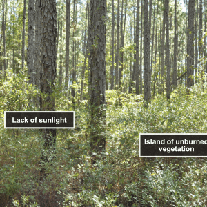Figure 6. Longleaf pine stand burned every 5 years in the growing season.