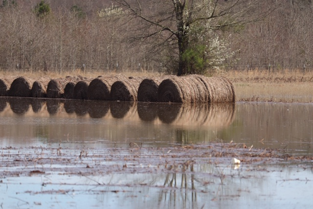 Flooded hay bales in a field.