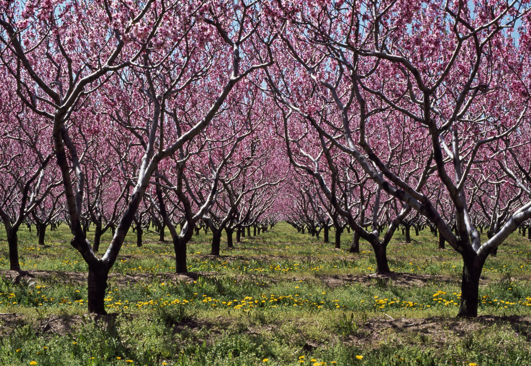 peach orchards in bloom
