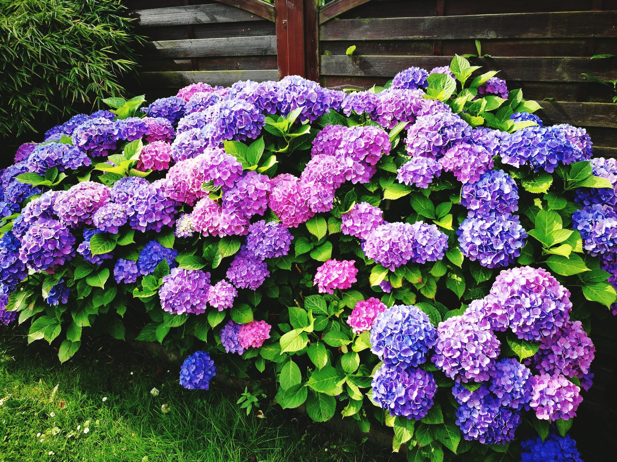 Hydrangea Blooming On Plant