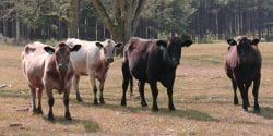 Cattle during a drought.