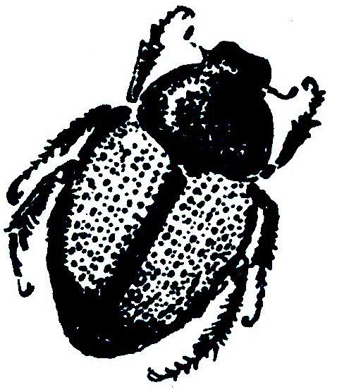 Japaneese Beetle