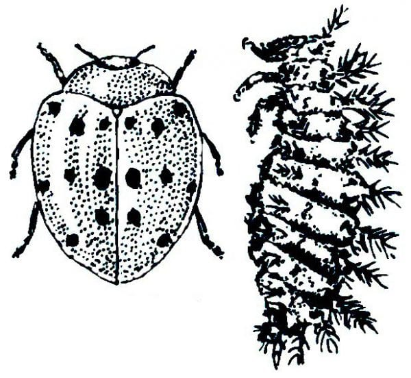 Mexican Bean Beetle and Larva