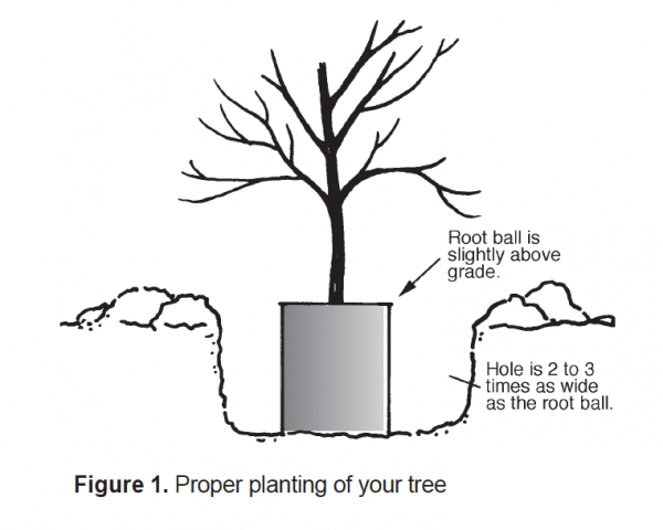 Proper planting of your tree
