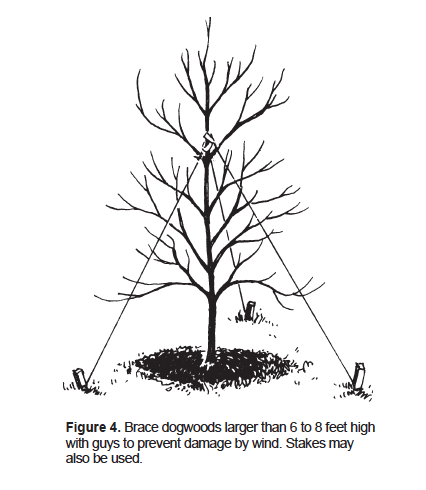 Brace dogwoods larger than 6 to 8 feet high with guys to prevent damage by wind. Stakes may also be used.